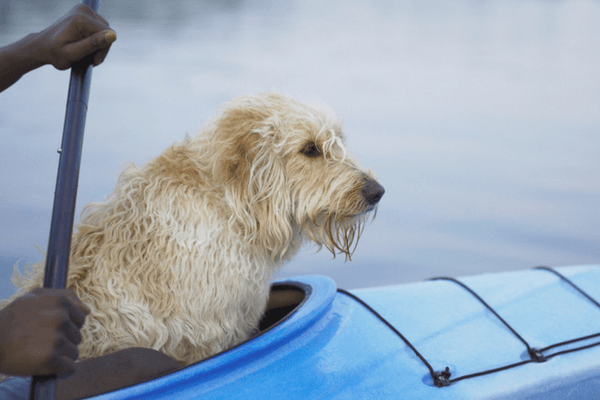 Dog Sitting In A Kayak