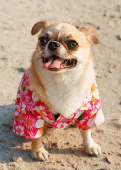 Dog With Sun Shirt On The Beach