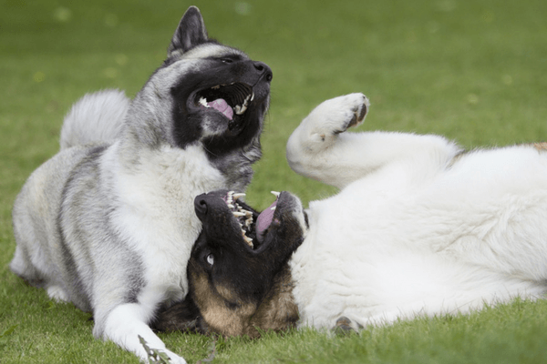 Two Dogs Playing And Yawning