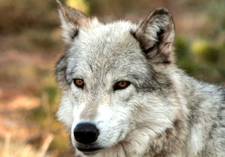 A look, are dogs descended from wolves