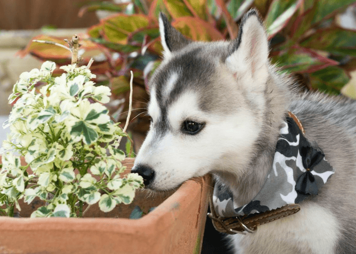 Dog Sniffing Toxic Plant In Garden