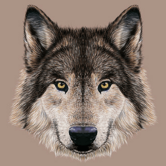 Canis lupus Illustration