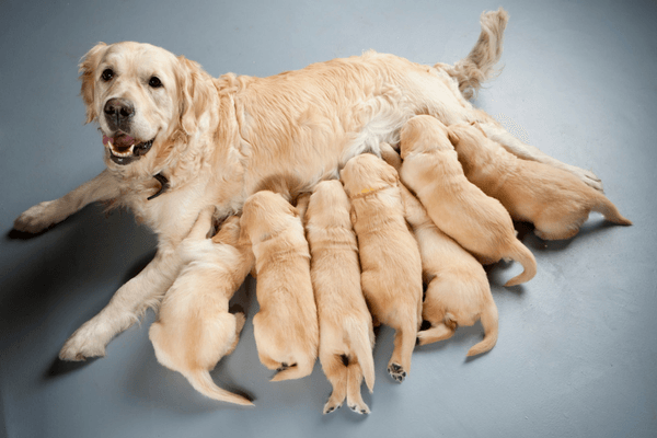 Dog Nursing Her Pups