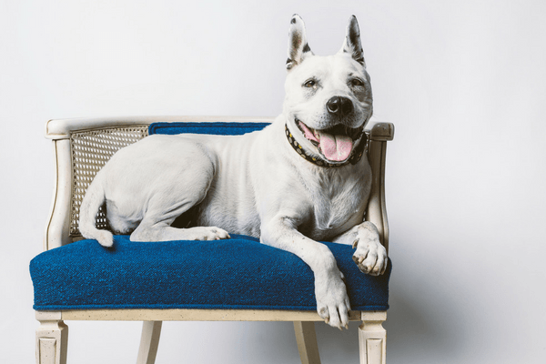 Senior Dog Laying On A Chair