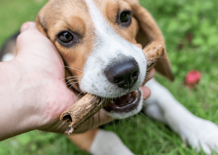 Pup Chewing On A Stick