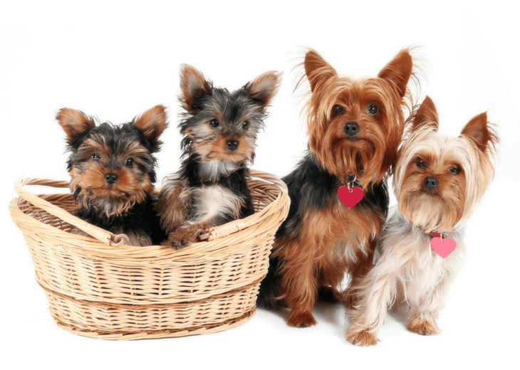 Yorkie Mom, Dad, Puppies