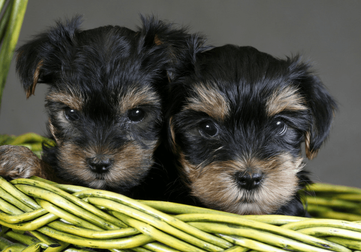 How To Choose A Yorkie Dog Breeder