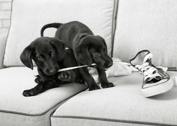 Two Lab Puppies Playing With A Shoe