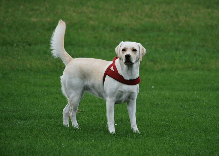 Labrador Retriever Looking At Camera Full Of Personality