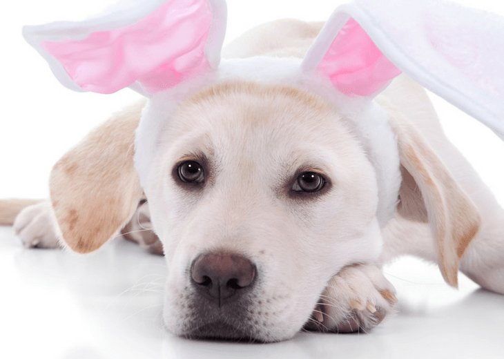 Labrador Retriever With Bunny Ears