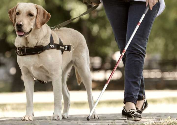 Why Labradors make great service dogs