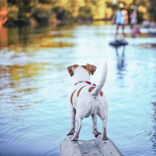 Dog Waiting To Get On Paddle Board