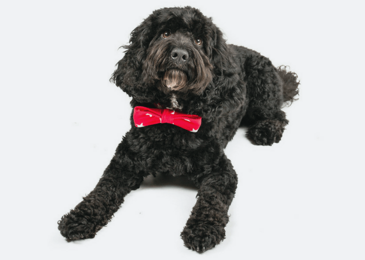 Black Cockapoo with red bow-tie