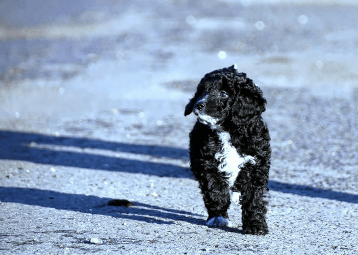 Black and white Cockapoo