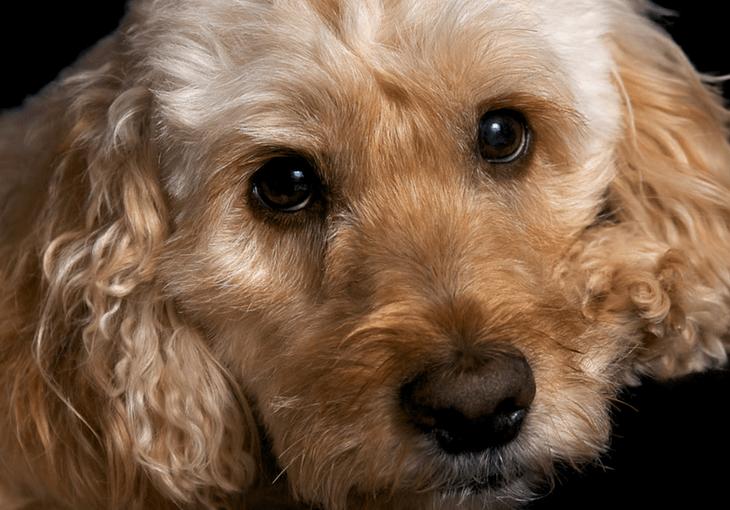 Cockapoo Dog Breed Information