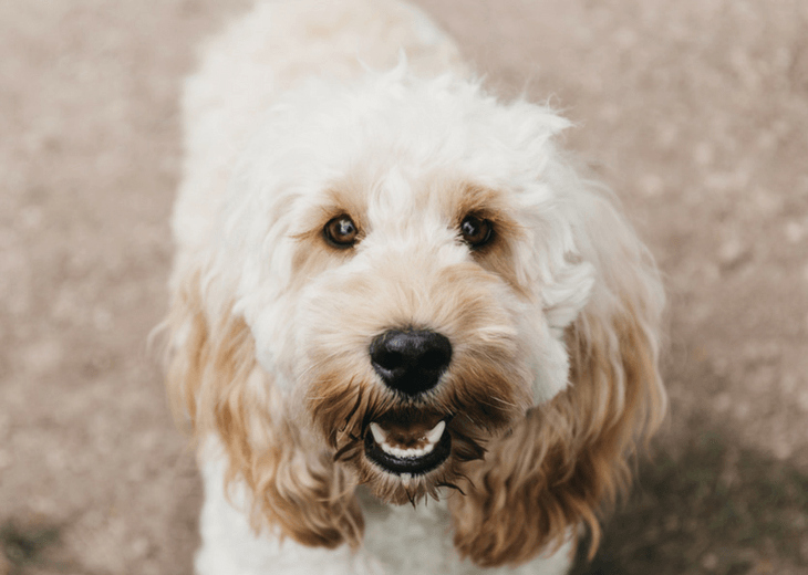 Closeup of a Cockapoo dog
