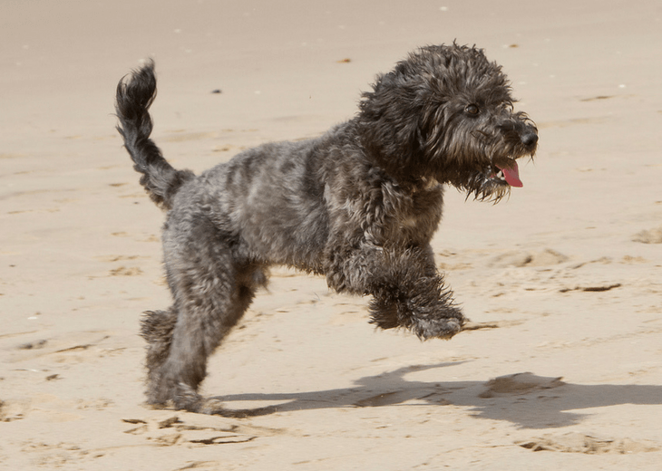 Cockapoo exercising on the beach