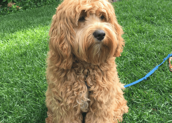 Cockapoo sitting on the grass