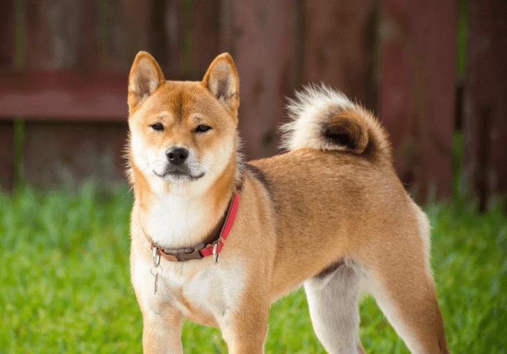 Shiba Inu Dog Breed Info