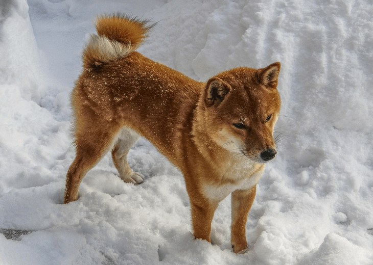Shiba Inu dog playing in the snow