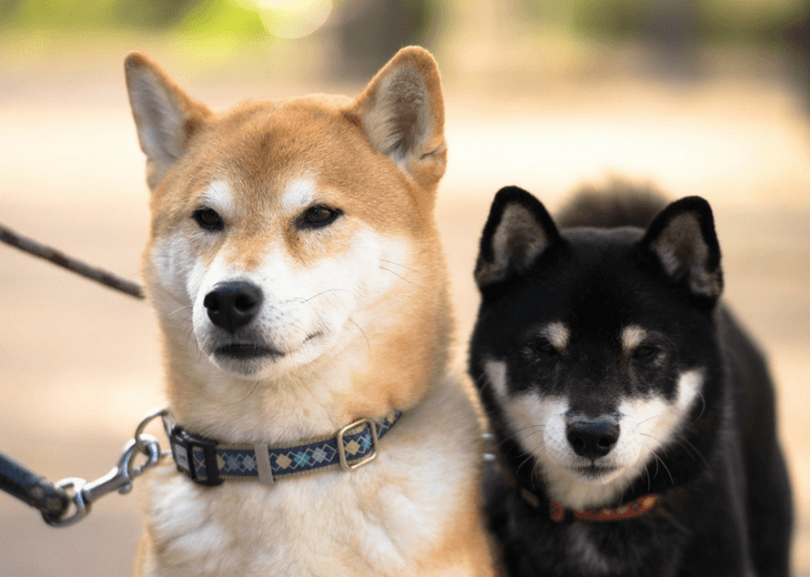 Two Shibas Getting Exercised