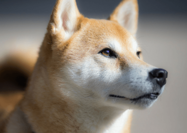 Shiba Inu Comes From Japan