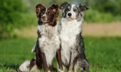 Border Collie Care And Grooming