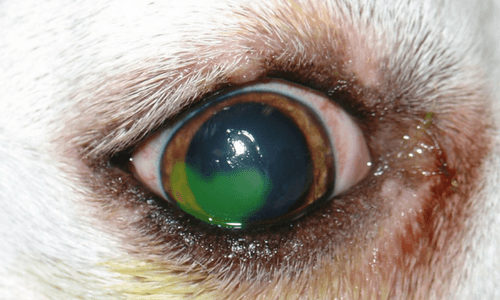 Canine eye with a corneal ulcer