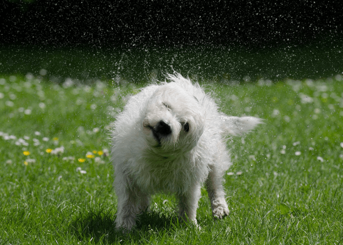 Dog In Field Shaking Off Water