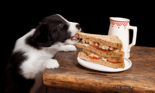 Border Collie Pup Stealing Food