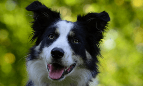 Costs And Buying Tips For Border Collies