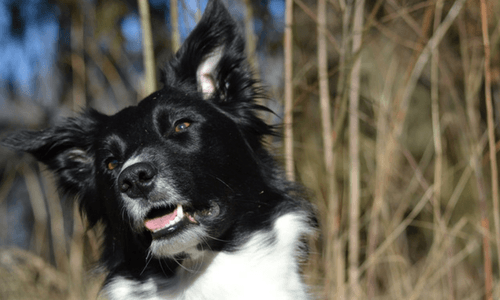 Border Collie With Lots Of Personality