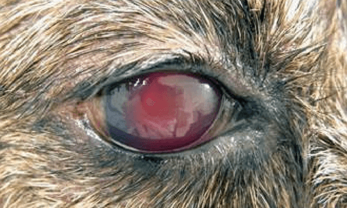 Canine with Uveitis