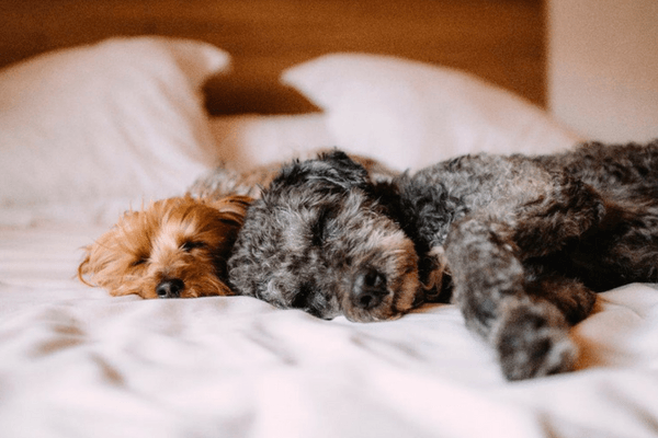 Two Dogs Laying On A Bed