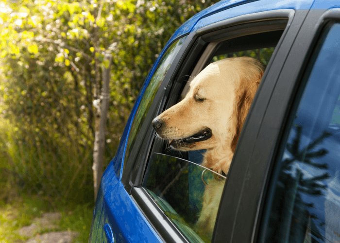 Dog In Car Suffering From Travel Anxiety