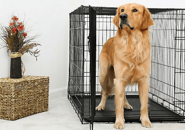 Golden Retriever Sitting In Dog Crate