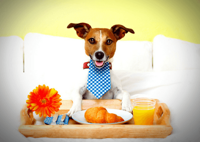 Dog Having Breakfast In Bed In A Hotel