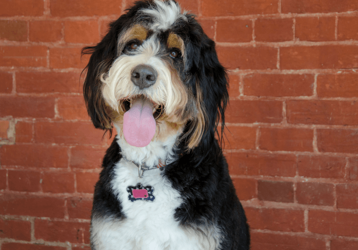 What's a Bernedoodle Dog?