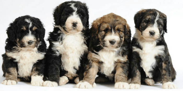 4 Bernedoodle Puppies