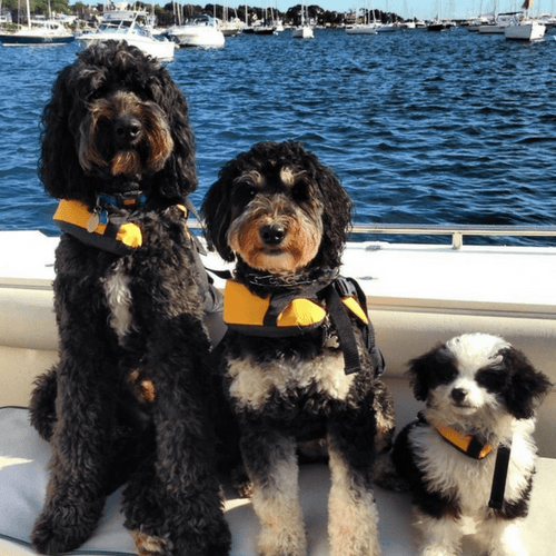 Three Bernedoodles On A Boat With Life-jackets