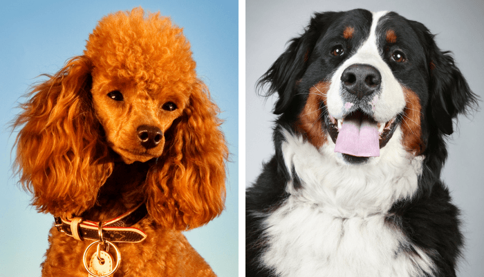 Brown Poodle And Bernese Mountain Dog