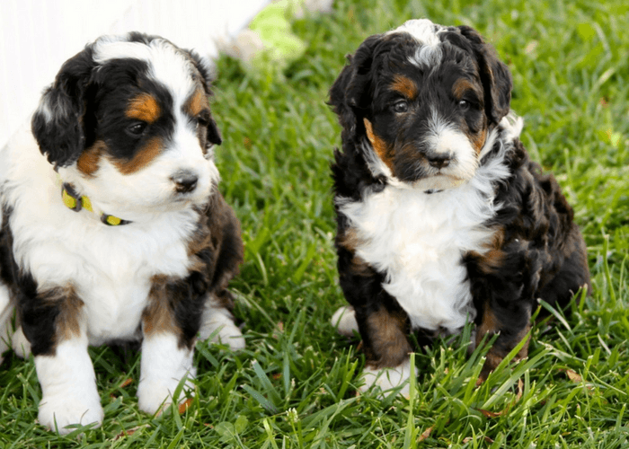 Two  Young Bernedoodle Pups On Grass