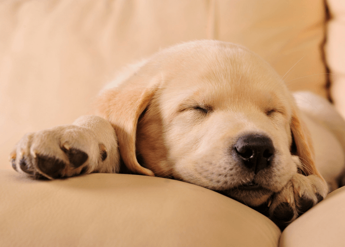 Puppy Sleeping Quietly