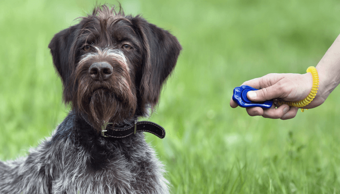 Dog In Clicker Training