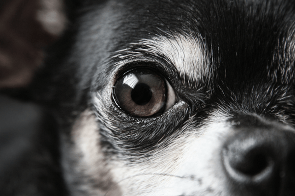 Closeup Of Dog Eye