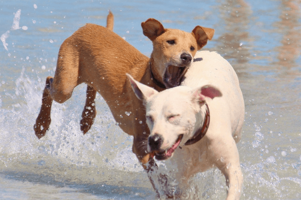 Two Dogs Frolicking In The Water