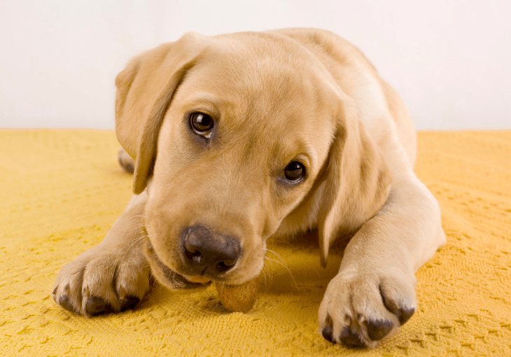 Nutritional Needs of Large Breed Puppies