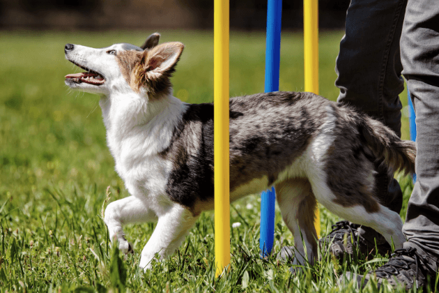 Young Dog Practicing Agility Training