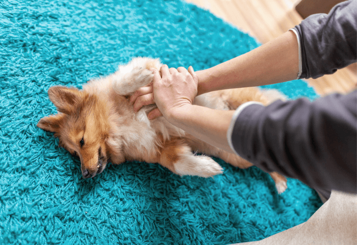 First Aid Reanimation On A Shetland Sheepdog