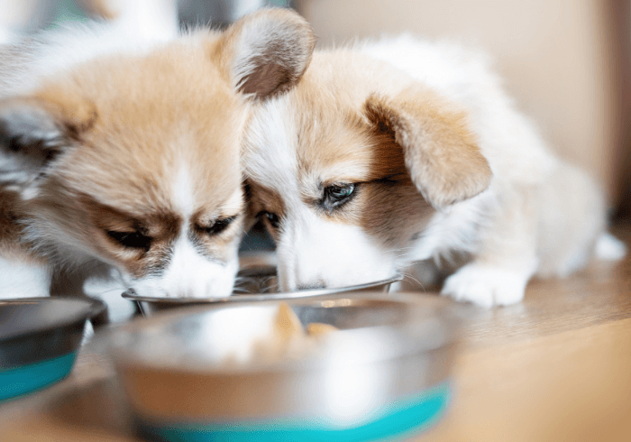 Welsh Corgi Puppies Eating